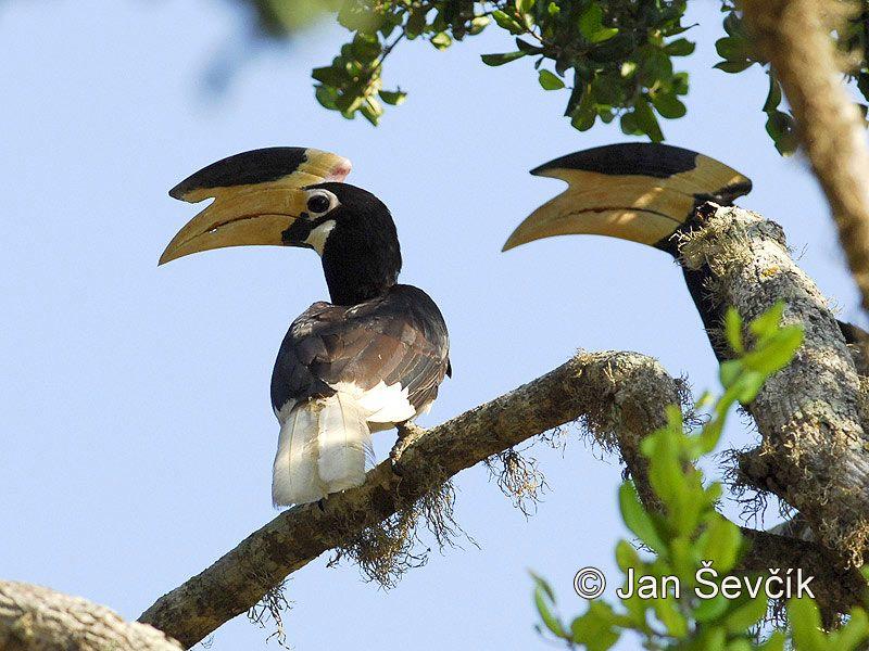 Malabar Pied Hornbill Picture Of Zoborozec Malabarsky Anthracoceros Coronatus Malabar Pied Cardinal Birds Birds