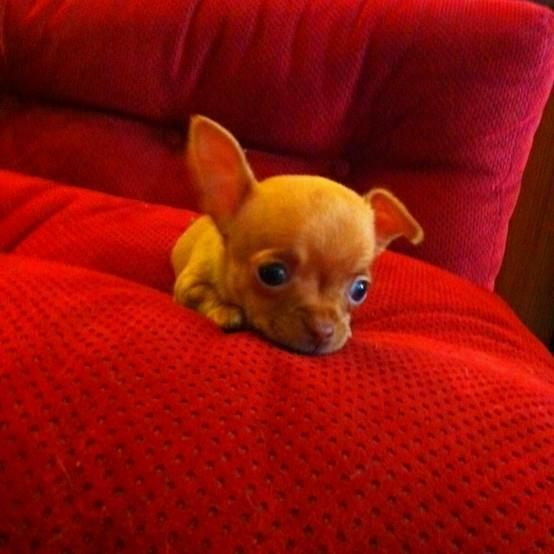 Pin By Carrie Lang On Da Babees Chihuahua Puppies Baby Animals