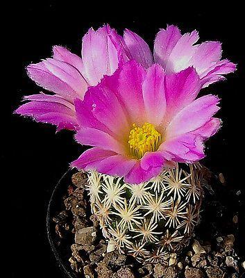 ariocarpus trigonus cactus 10 seeds rare korn graines samen!