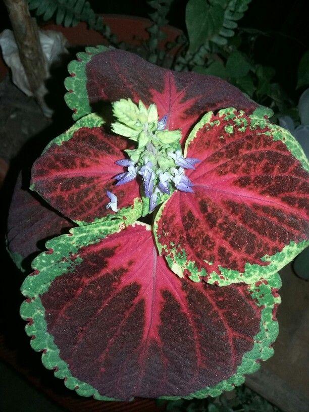 Cretona en flor
