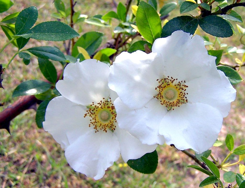 Cherokee Rose State Flower Cherokee rose