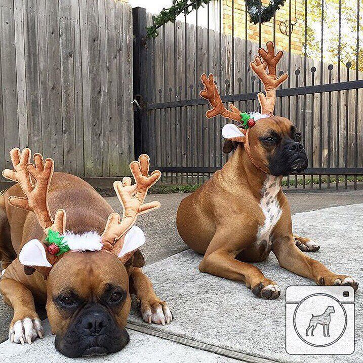 Poor Boxer Dogs Hope You Re Doing Well From Your Friends At