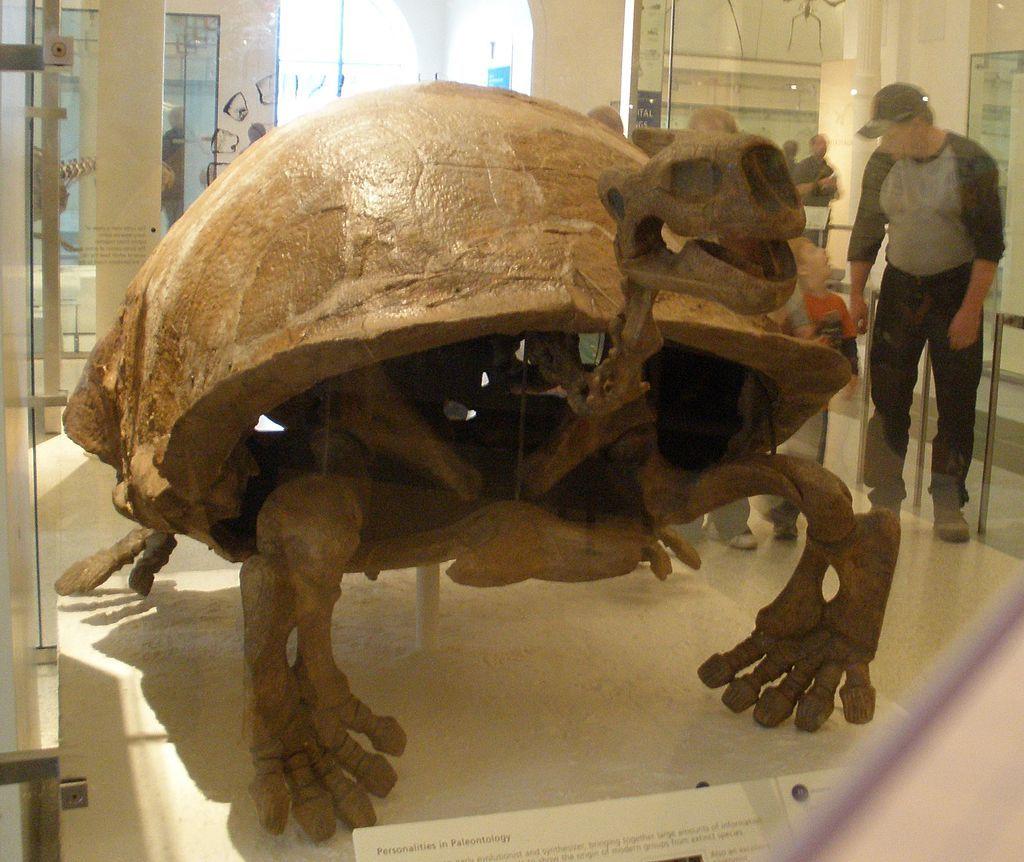 fossil of Testudo atlas, an extinct chelonian Želva, Fosilie
