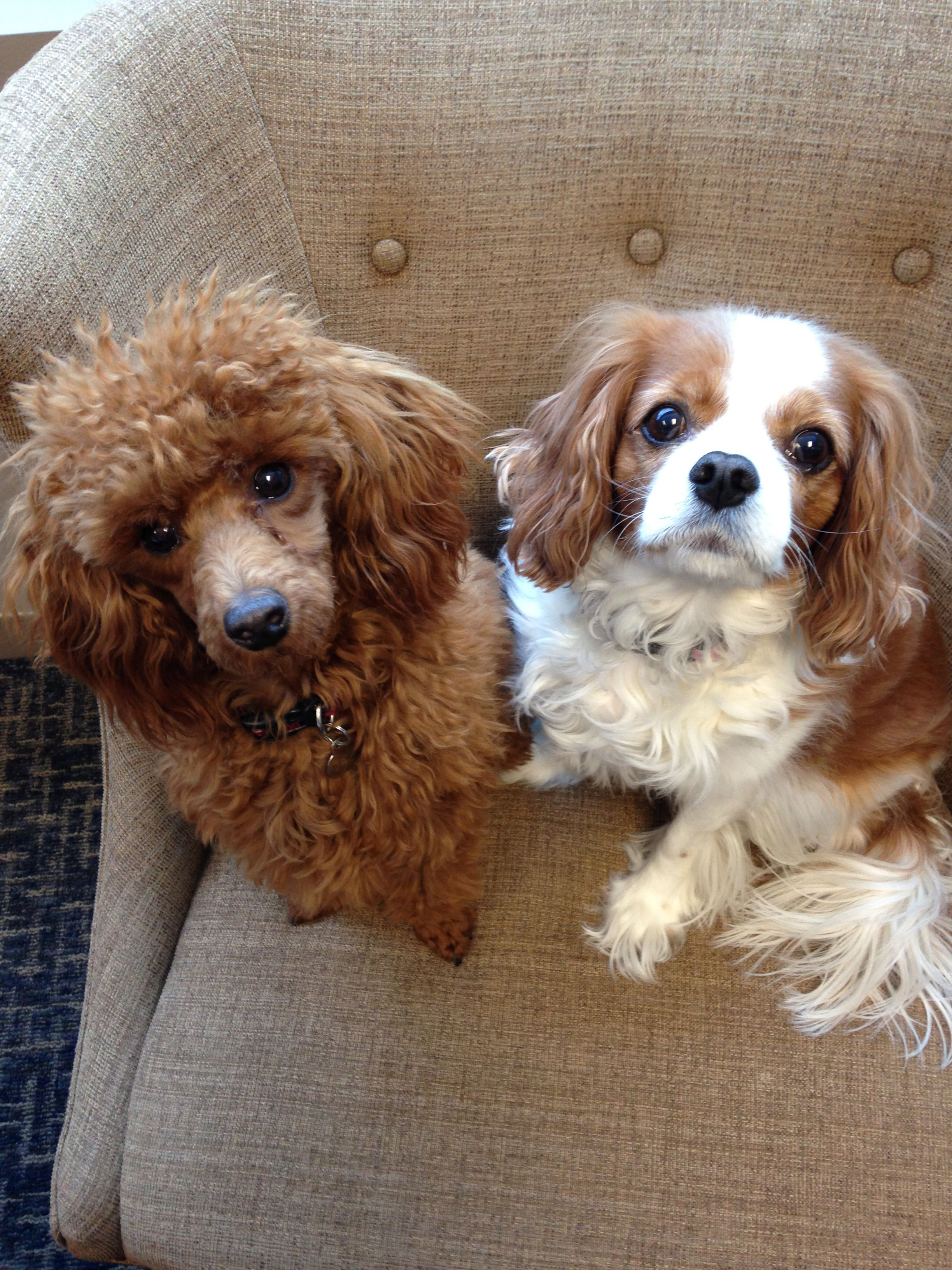 Leo The Red Miniature Poodle And Izzy The Cavalier King Charles Spaniel Poodle Puppy Cute Animal Pictures Cute Animals