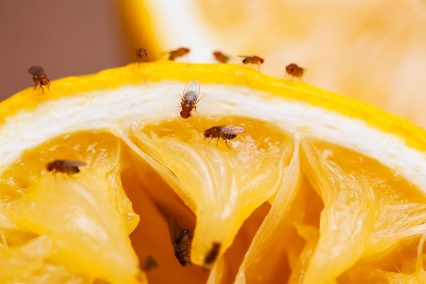 6 Best Ways To Get Rid Of Fruit Flies 5 Ways To Prevent Them Diy Fruit Fly Trap Fruit Fly Trap Fruit Flies