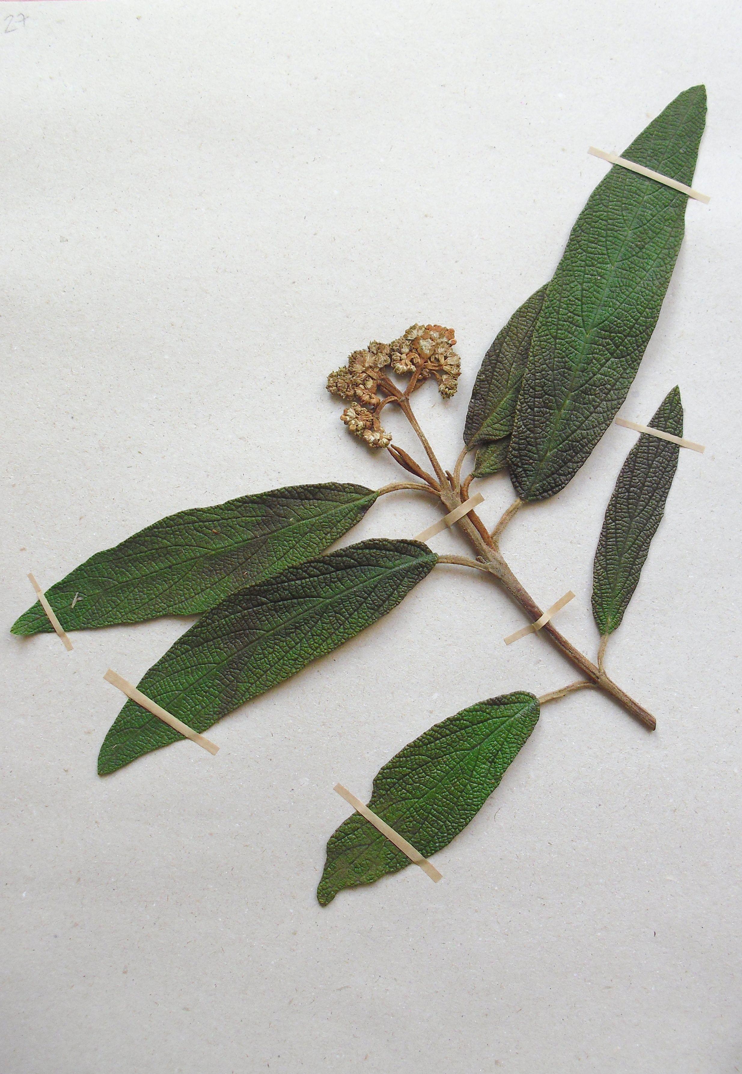 Viburnum rhytidophyllum (Adoxaceae) M. KÁzsia (HOLA