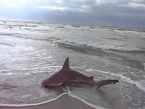 Bull Shark At Blind Pass Shark Sanibel Island Blinds