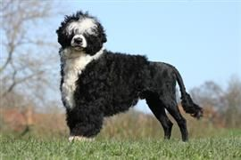 Portuguese Water Dog Names Portuguese Water Dog Portugese Water Dogs Dog Breeds