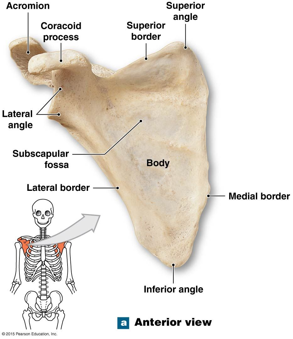 The Acromion Process Of The Scapula Anatomy And Physiology