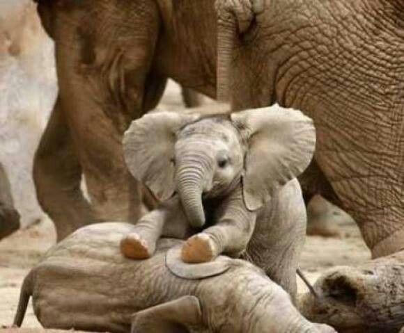 Guaguitas elefantes