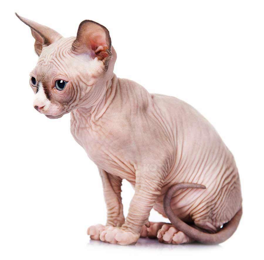Kot Don Sfinks Rasowe Koty Domowe Animals All About Cats Cats
