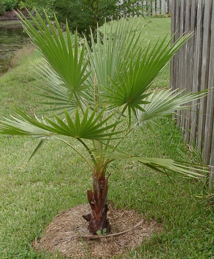 Mexican Fan Palm Trees... Lost 2 big ones worth about $1K each ...