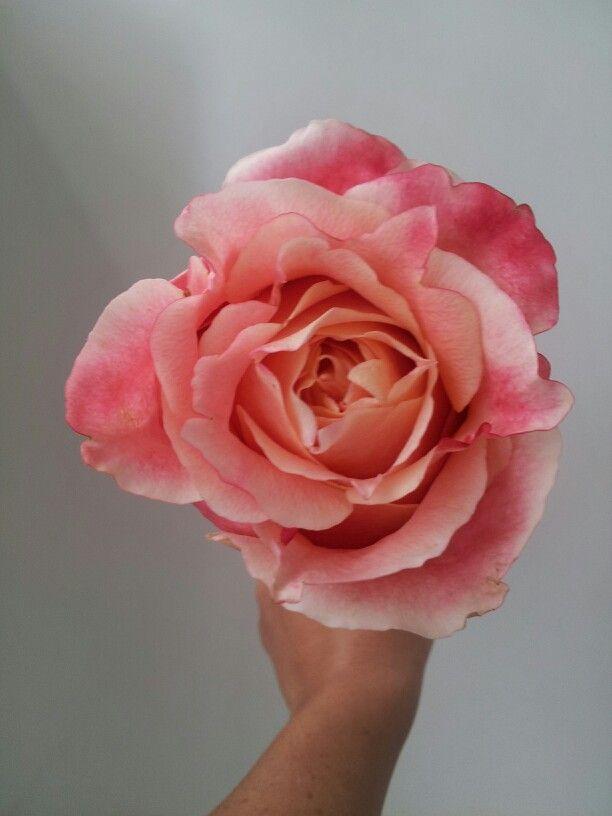 New Variety 3d Rose Stunning Rose Roses Pinterest Flowers