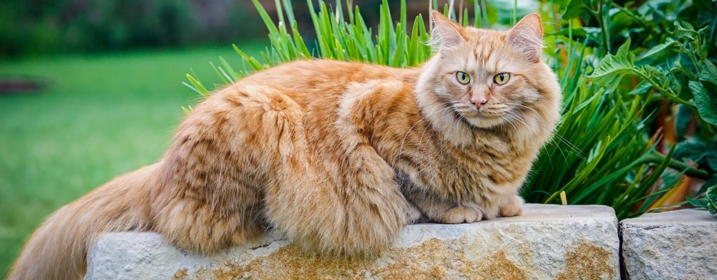 Pin On Maine Coon Cat Breed