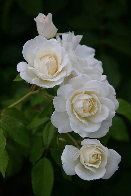 Rosas Blancas Flores Esculturas Plantas Rosas Blancas