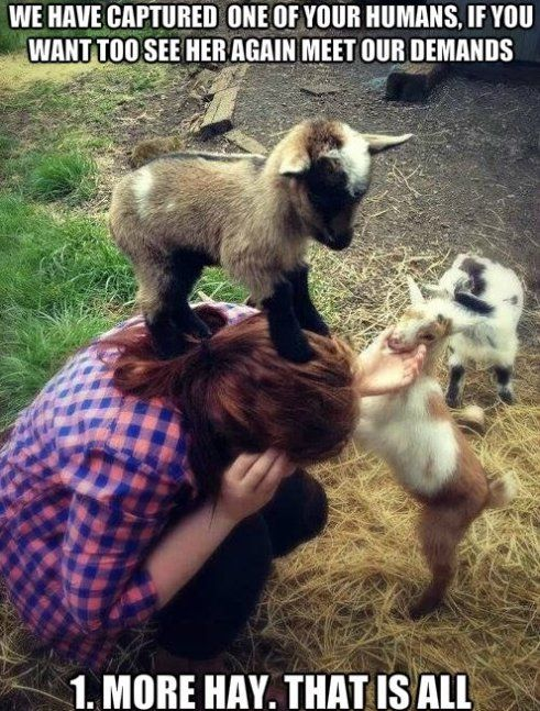 Evil Goat Hostage Situation With Images Cute Goats Cute