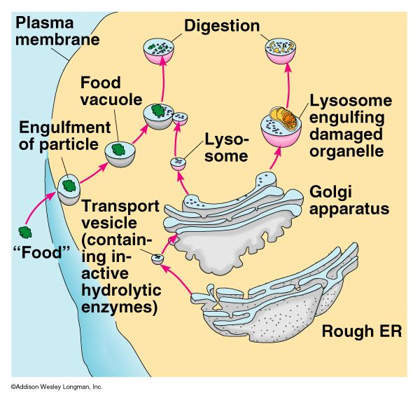 Golgi Apparatus Term paper