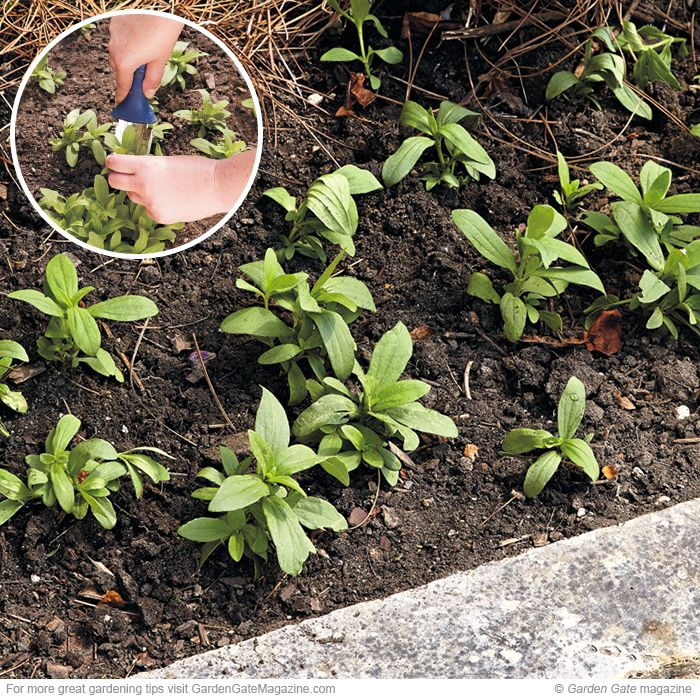 Transplant seedlings | Garden gate, Zinnias and Seeds