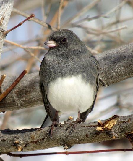 Dark-Eyed Junco | Backyard birds, National geographic, Dark