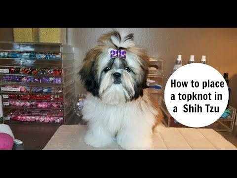 A Shih Tzu Dog S Coat Requires Special Care Here S How To Brush A