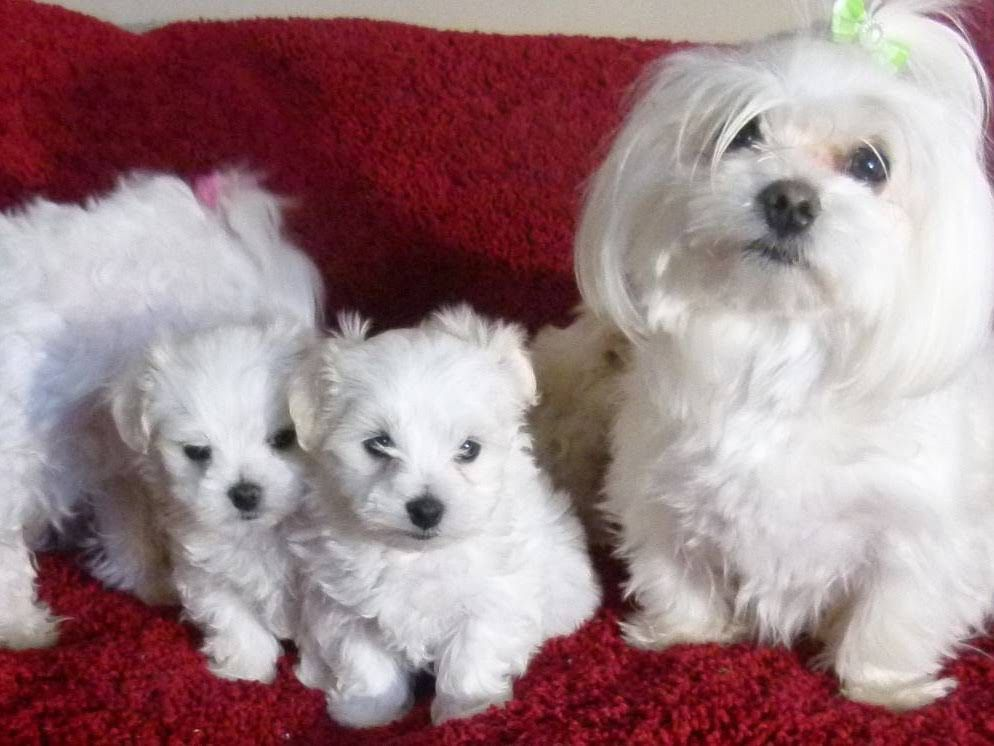 Cathys Maltese Dog Breeder And Pet Store Maltese Dogs Dog