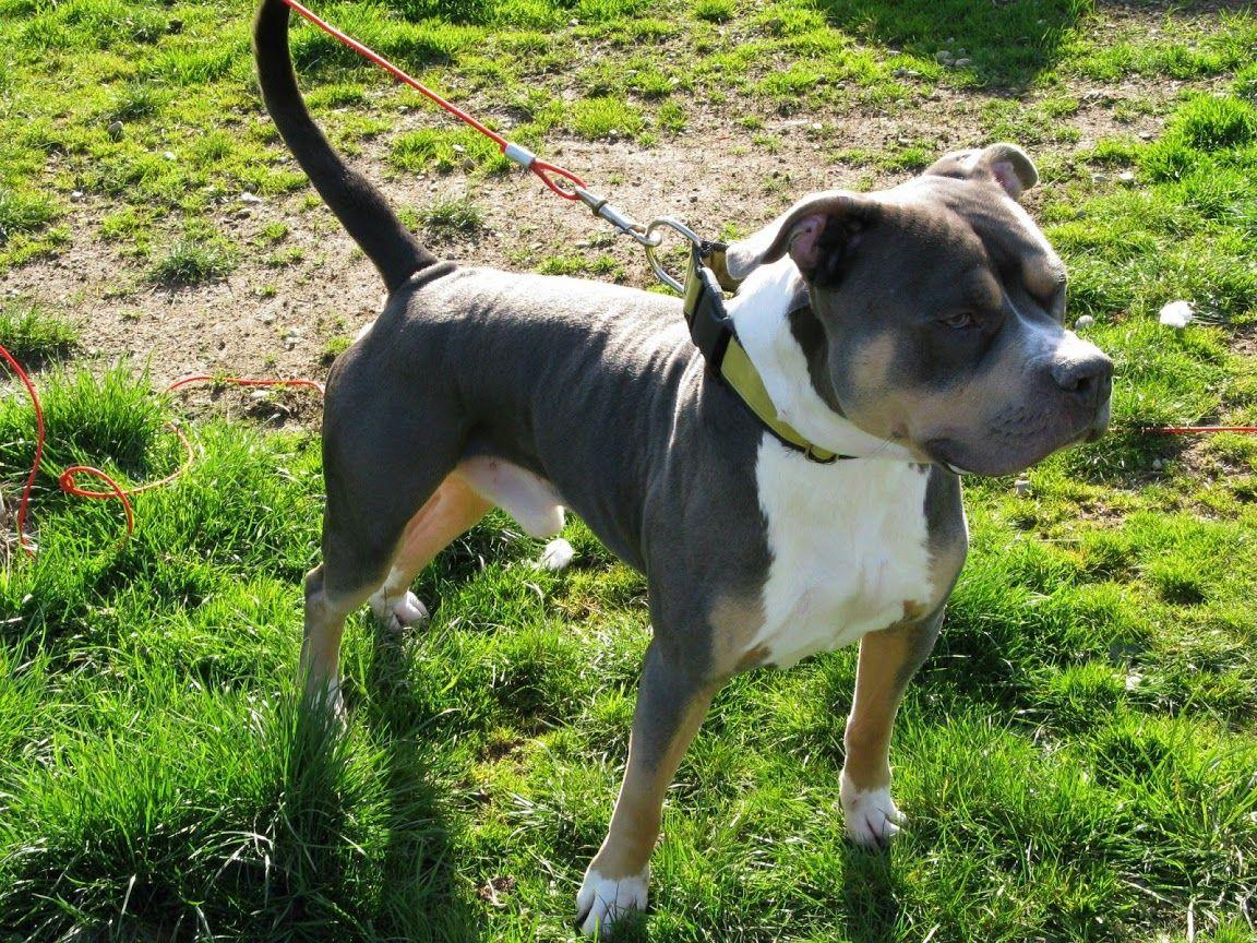 Pin on Pit Bull's + Staffordshire Terrier + American bulldog