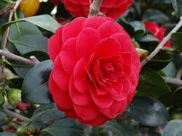 camellias varieties - Pesquisa Google