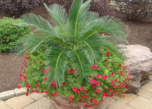 Sago palm and million bells a low maintenance container for Garden outlay ideas