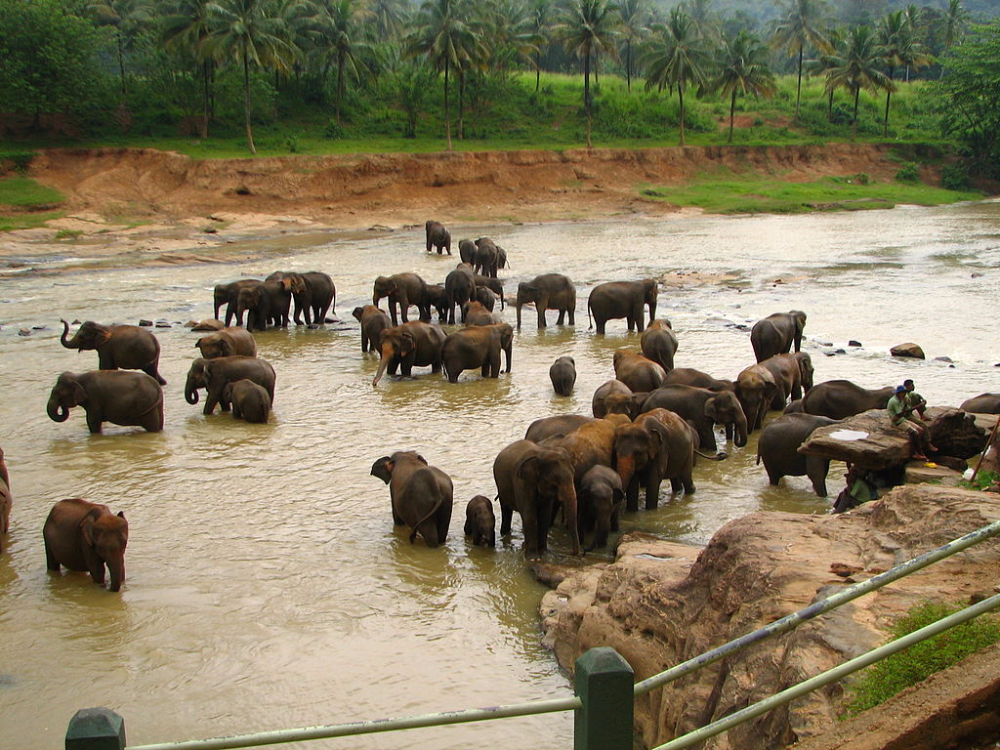 Sri Lanka Elephant Orphanage The Sri Lankan Elephant Elephas Maximus Maximus Is One Of Three Recognised Su In 2020 Wildlife Tour Sri Lankan Elephant National Parks Sri lanka elephant animals holidays animais animales animaux holiday elephants. pinterest
