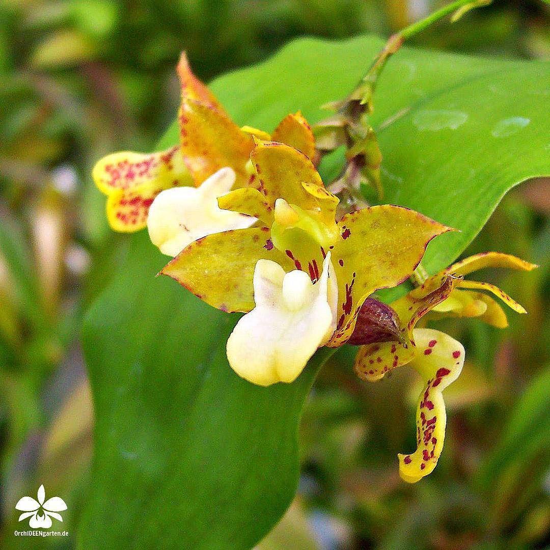 Orchideengarten Karge in Dahlenburg — Polystachia maculata   #orchids #Orchidee...
