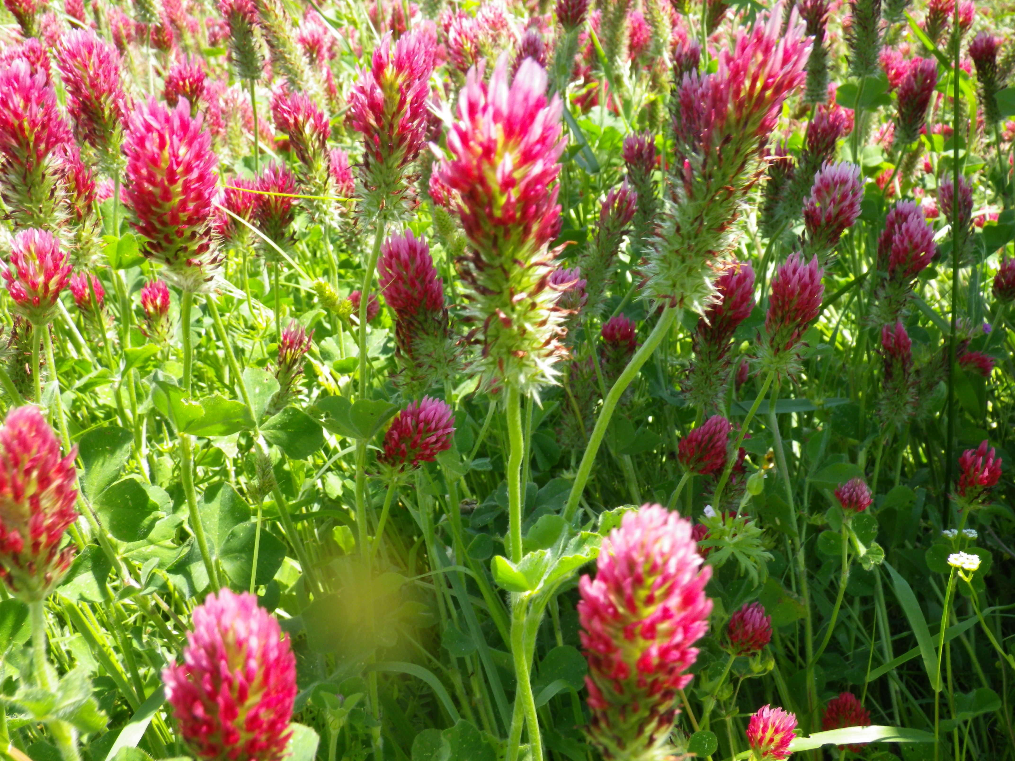 Arkansas Wild Flowers.