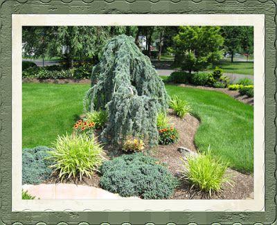A Guide To Northeastern Gardening Weeping Blue Atlas Cedar Focal Point In The Garden