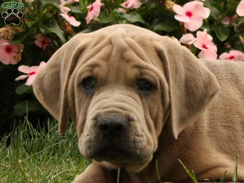 Bear African Boerboel Puppy For Sale In Pennsylvania Puppies