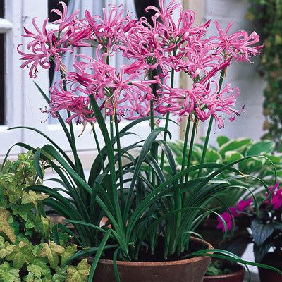 Nerine Bowdenii Amaryllidaceae Nerine A Summer Bulb Leaves Die Back As Flowers Appear In Autumn Flowers From White To Pink To Scarlet Needs Irrigatio