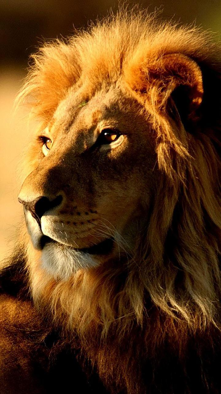 Обои лев, морда, животное. Животные