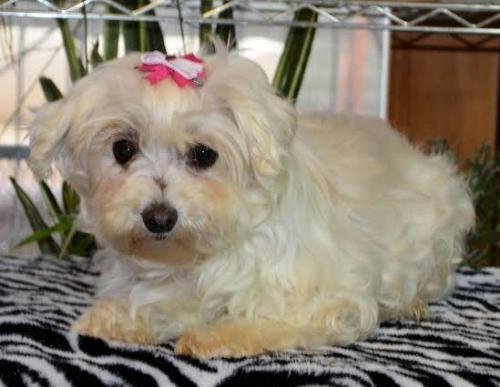 Meet Kathleen A Petfinder Adoptable Maltese Dog Gilbert Az