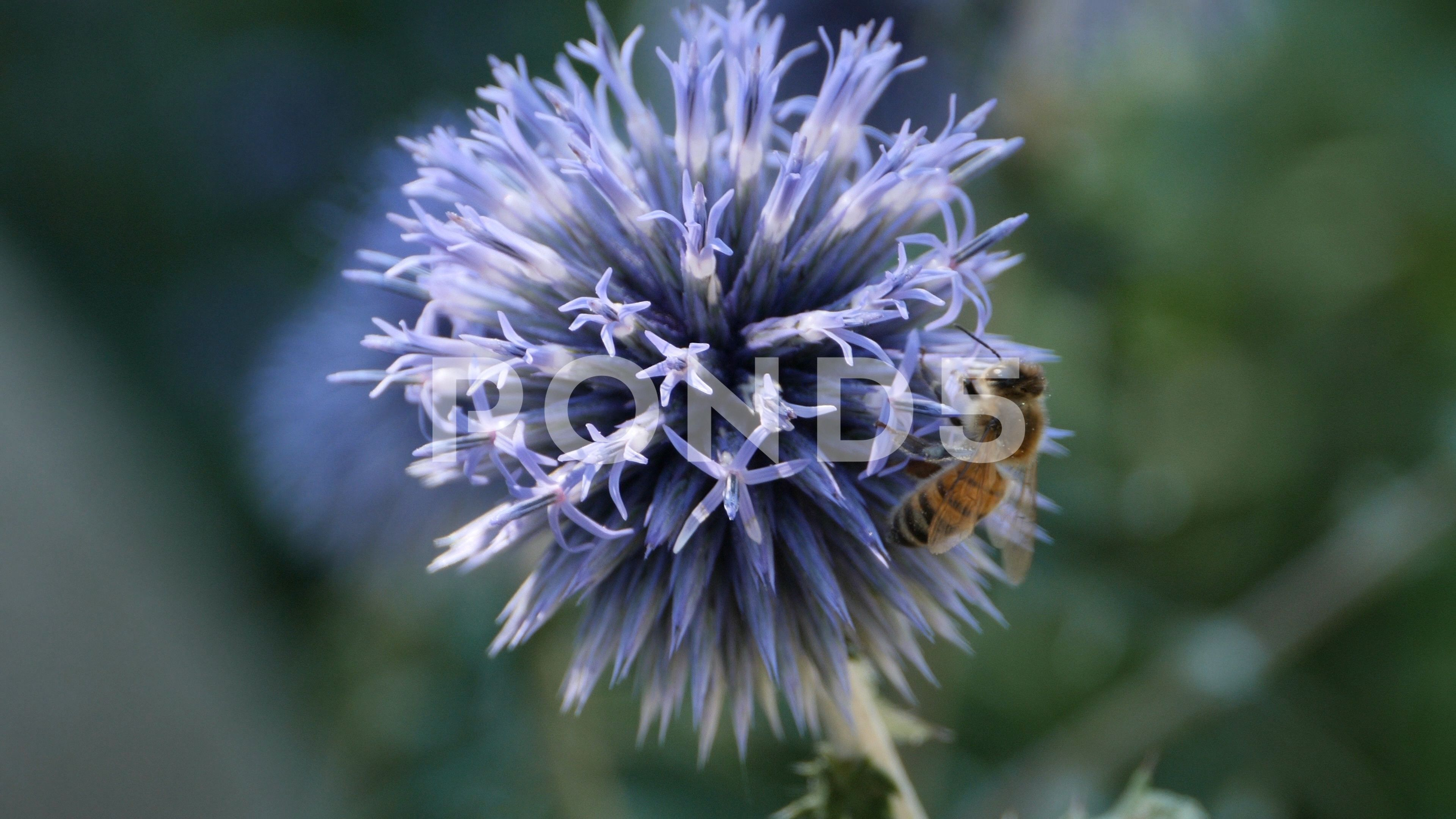 Bee Crawls Up Thistle Flower Macro 4k Stock Footage By Gdmpro