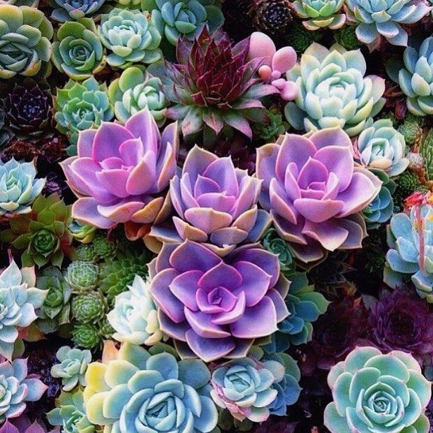 Amazing Colour Succulents RG From The Awesome @sacraluna