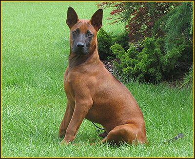 Thai Ridgeback Thai Ridgeback Lap Dogs Dog Items