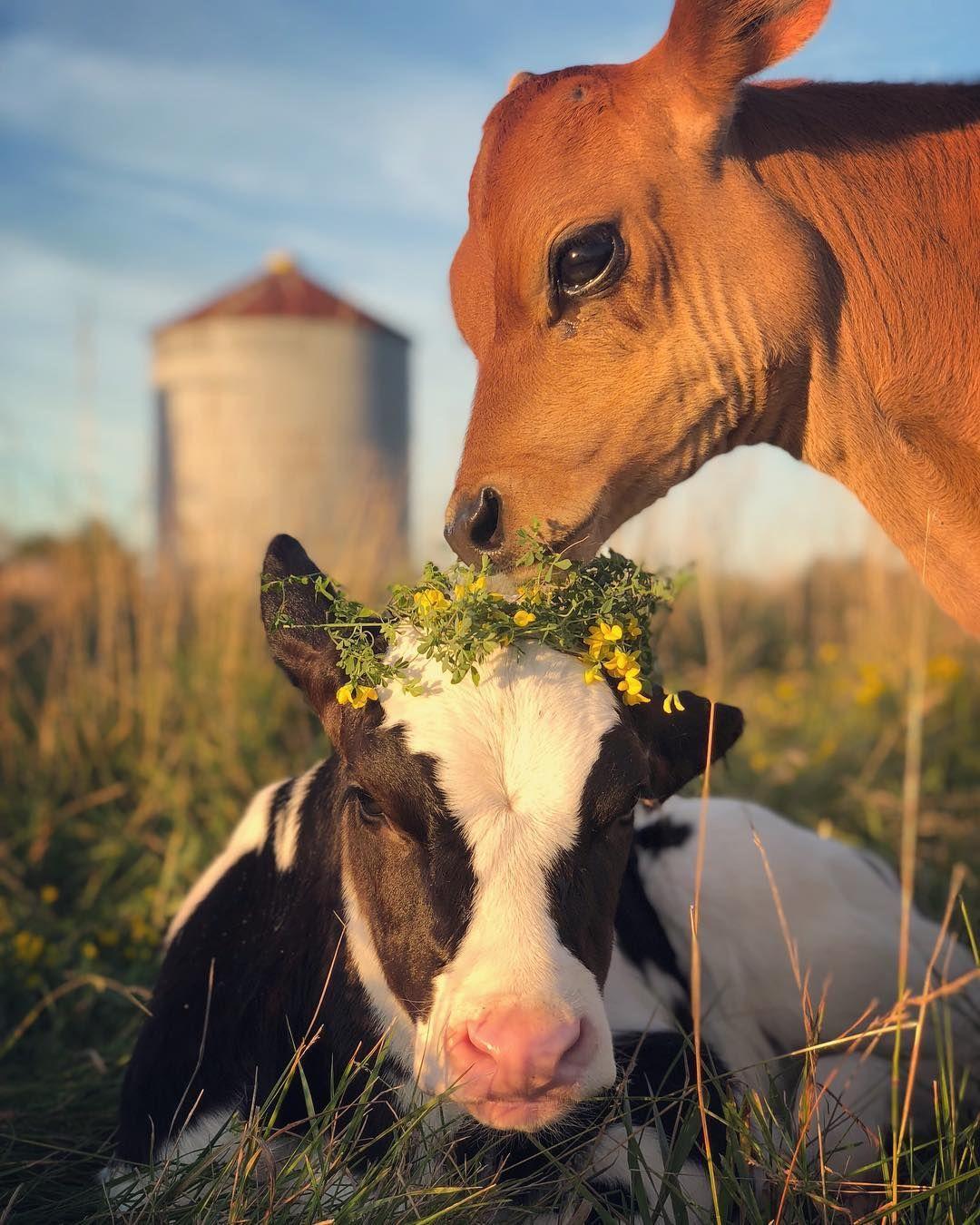 Little Calf Calvin Enjoying Some Tasty Flower Crownhttps I Redd It A5epk9hse0g11 Jpg Baby Farm Animals Cute Animals Cute Baby Cow