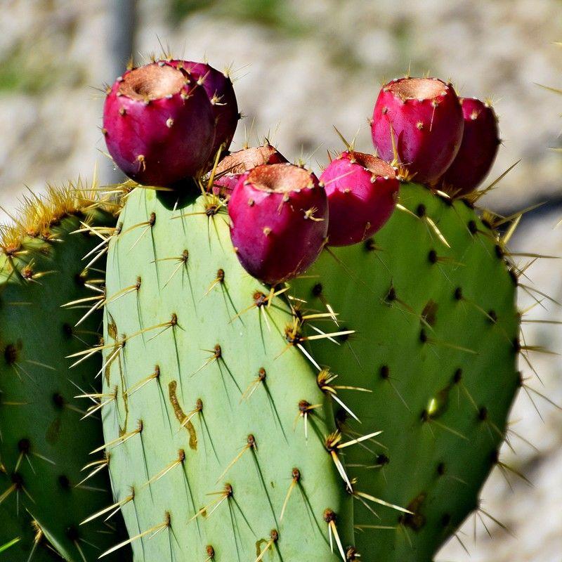 Opuntia Engelmannii Rastrera Oponce Rustique Cactus Compact