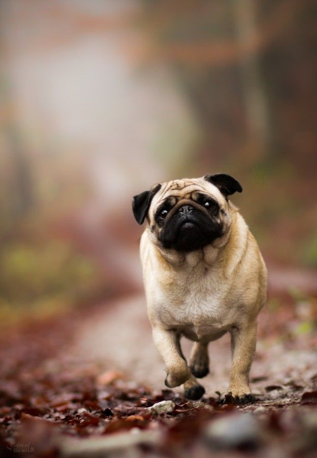 So Many Cute Animals Cute Animals Animals Pugs