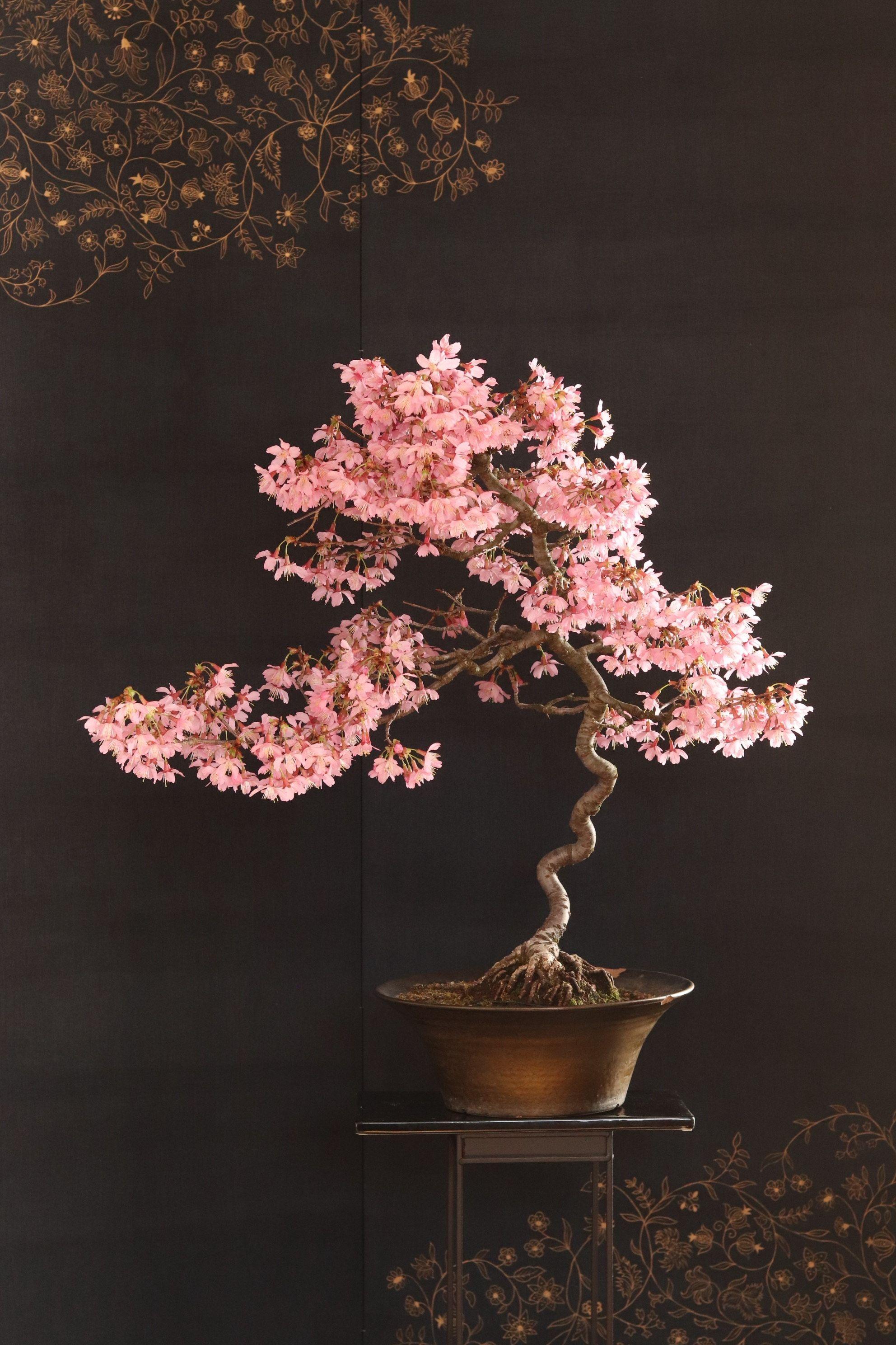 Cherry Bonsai Prunus In 2021 Cherry Bonsai Bonsai Art Bonsai