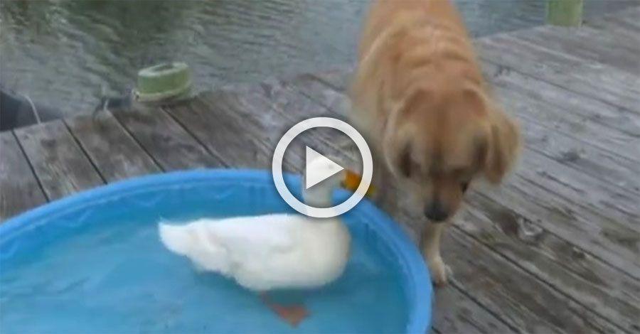 Un perro ve como un pato nada en su piscina lo que hace for Piscinas con patas