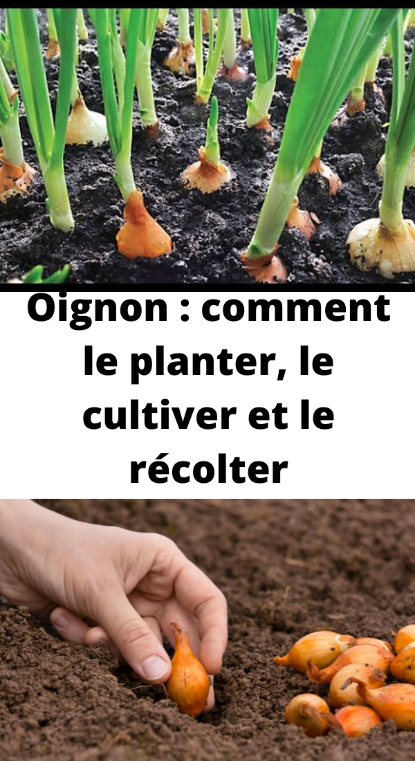 Oignon : comment le planter, le cultiver et le récolter en ...