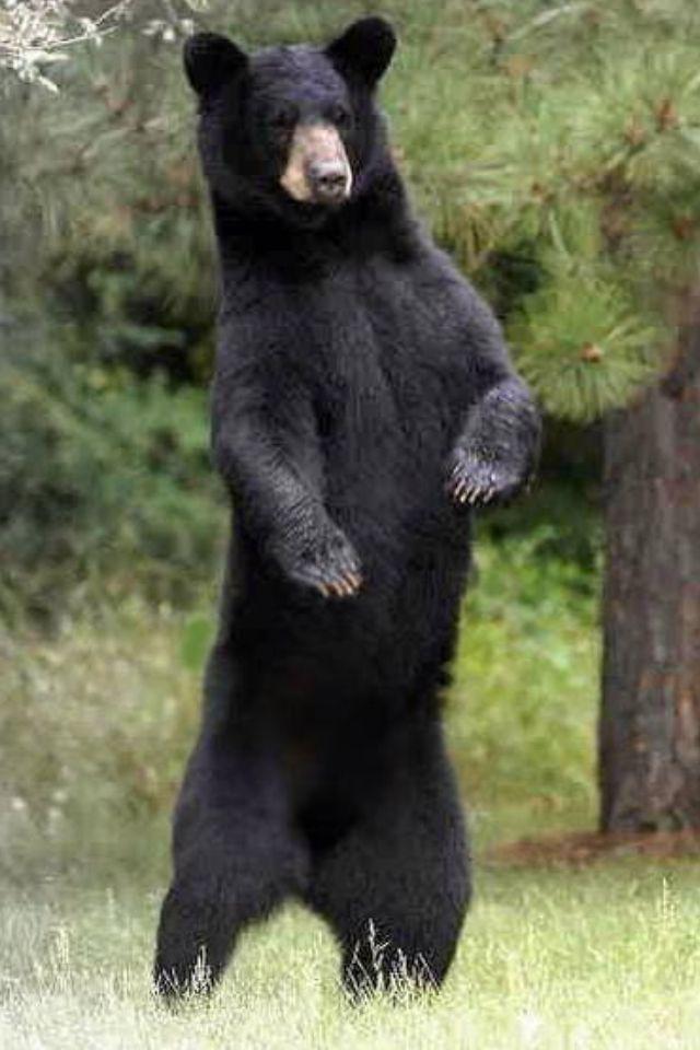 american black bear all