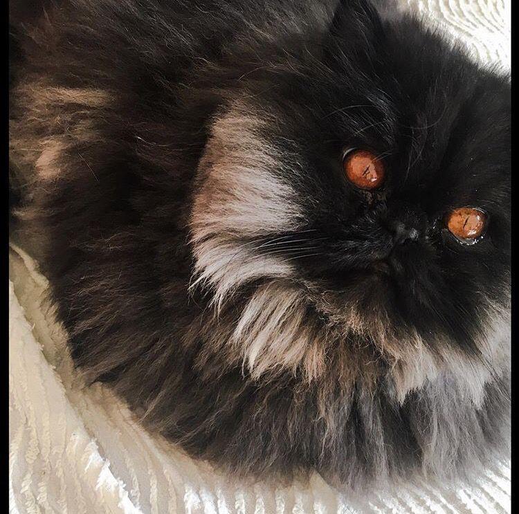 Neko, persan de 2 ans, blacksmoke persian cat