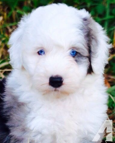 This is a sheepadoodle with blue eyes! Soo pretty! | dogs