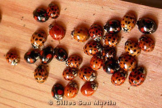 Mora asian ladybugs!
