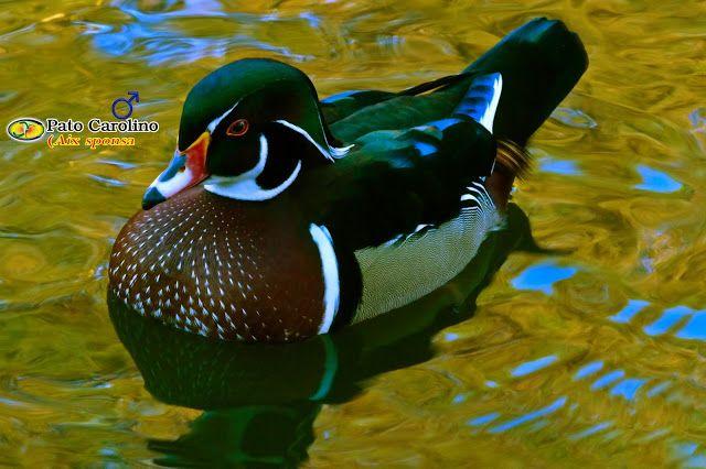 Zoologia: Pato-carolino (Aix sponsa)